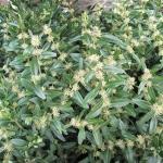 Kwitnący bukszpan zwyczajny (Buxus sempervirens) 'Salicifolia Elata' - HGN