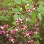 Epimedium czerwone (Epimedium rubrum) - HGN