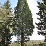 Mamutowiec olbrzymi (Sequoiadendron giganteum), 2009 rok - HGN