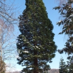 Mamutowiec olbrzymi (Sequoiadendron giganteum), 2013 rok - HGN