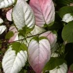 Liście okazu męskiego aktinidii pstrolistnej (Actinidia kolomicta) - HGN