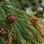 Szydlica japońska (Cryptomeria japonica) - HGN