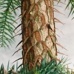 Młoda korowina kuningami lancetowatej (Cunninghamia lanceolata) -HGN
