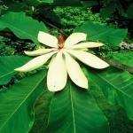 Magnolia szerokolistna (Magnolia hypoleuca) - HGN