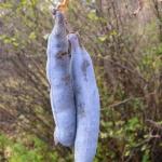 Owoce palecznika chińskiego (Decaisnea fargesii) zawierają słodki, galaretowaty miąższ i dwa rzędy ciemnobrunatnych, płaskich nasion - HGN