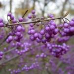 Owoce pięknotki japońska (Callicarpa japonica) zebrane w grona zdobią krzewy jeszcze długo po opadnięciu liści - HGN