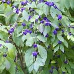 Owoce pięknotki Bodiniera odm. Gilarda (Callicarpa bodinieri var. giraldii) zebrane w grona pozostają na pędach jeszcze długo po opadnięciu liści - HGN