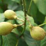 Gładkie owoce kasztanowca drobnokwiatowego (Aesculus parviflora) - HGN