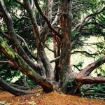 Sędziwy cis pospolity (Taxus baccata) - HGN