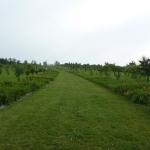 Okazałe aleje liliowców prowadzące do sadu czereśniowego - HGN