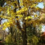 Jesienne przebarwienie liści kasztana jadalnego (Castanea sativa) - HGN