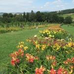 Okazałe aleje liliowców w sadzie czereśniowym - HGN