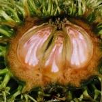 Owoce kasztana jadalnego (Castanea sativa) - HGN