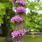Judaszowiec południowy (Cercis siliquastrum) - HGN