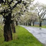 Przydrożna aleja drzew czereśniowych (Prunus) - HGN