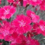 Goździk siny (Dianthus gratianopolitanus) 'Dobromierrz' - HGN