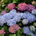 Grupa kwitnących hortensji ogrodowych (Hydrangea macrophylla) - HGN
