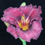 Hemerocallis_'Sudetic Night Bells'_TN_Woj