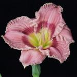 Hemerocallis_'Sudetic Pink Standard'_TN_Woj