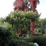 100-lenia hortensja bukietowa (H. paniculata) 'Grandiflora'  HGN
