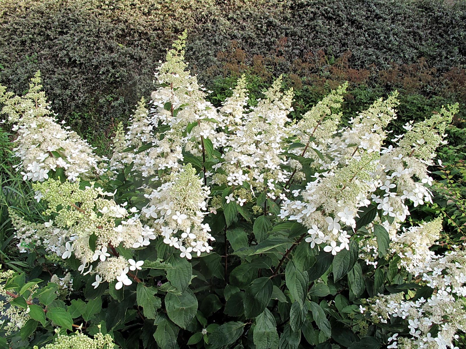 Kolekcja Hortensji Hydrangea W Arboretum W Wojsławicach