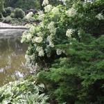 Hortensja bukietowa (H. paniculata) 'White Moth' - HGN
