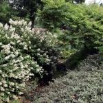 Hortensja bukietowa (Hydrangea paniculata) 'Floribunda' - HGN