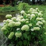 Hortensja krzewiasta (H. arborescens) 'Annabelle' - HGN