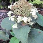 Hortensja otulona (Hydrangea involucrata) - HGN