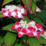 Hortensja piłkowana (Hydrangea serrata) 'Benigaku' - HGN