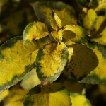 Hortensja pnąca (Hydrangea anomala subsp. petiolaris) - HGN