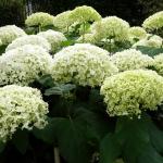 Hydrangea arborescens 'Annabelle' - Arboretum Wojsławice