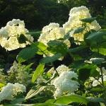 Hortensja krzewiasta (Hydrangea arborescens) 'Grandiflora' - HGN