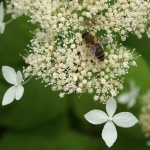Hortensja krzewiasta (Hydrangea arborescens subsp. radiata) - HGN