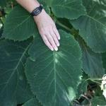 Hortensja kosmata (Hydrangea aspera) 'Macrophylla' - HGN
