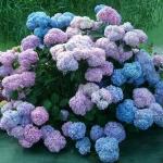 Hortensja ogrodowa (Hydrangea macrophylla) 'Nikko Blue' - HGN