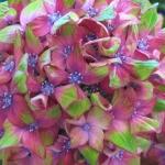 Hortensja ogrodowa (Hydrangea macrophylla) 'Schloss Wackerbarth' - HGN