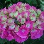 Hortensja ogrodowa (Hydrangea macrophylla) 'Sibilla' - HGN