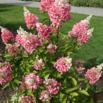 Hortensja bukietowa (Hydrangea paniculata) 'Pinky Winky' - HGN