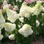 Hortensja bukietowa (Hydrangea paniculata)  'Polar Bear' - HGN