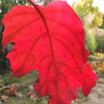 Hortensja dębolistna (Hydrangea quercifolia) 'Burgundy' - HGN