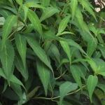 Hortensja piłkowana (Hydrangea serrata) 'Odoriko Amacha' - HGN