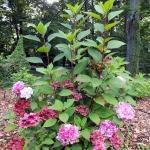 Hydrangea x serratophylla 'Preziosa' - Arboretum Wojsławice
