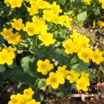 'Auenwald' jest najwyższą odmianą knieci błotnej (Caltha palustris) - HGN
