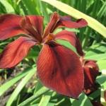 Kosaciec (Iris) 'Red Dazzler' z grupy Louisiana - HGN