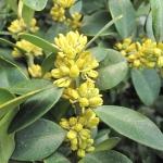Kwitnący bukszpan zwyczajny (Buxus sempervirens) 'Latifolia'