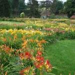 Letnie kwitnienie liliowców (Hemerocallis) - HGN