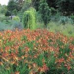 Liliowiec (Hemerocallis) 'Brunette' - HGN