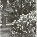 Różaneczniki (Rhododendron) w czerwcu, 1924 r.