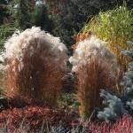 Rabata bylinowa z kwitnącym miskantaem (Miscanthus) 'Kleine Fontaine', wrzesień 2012 - HGN
